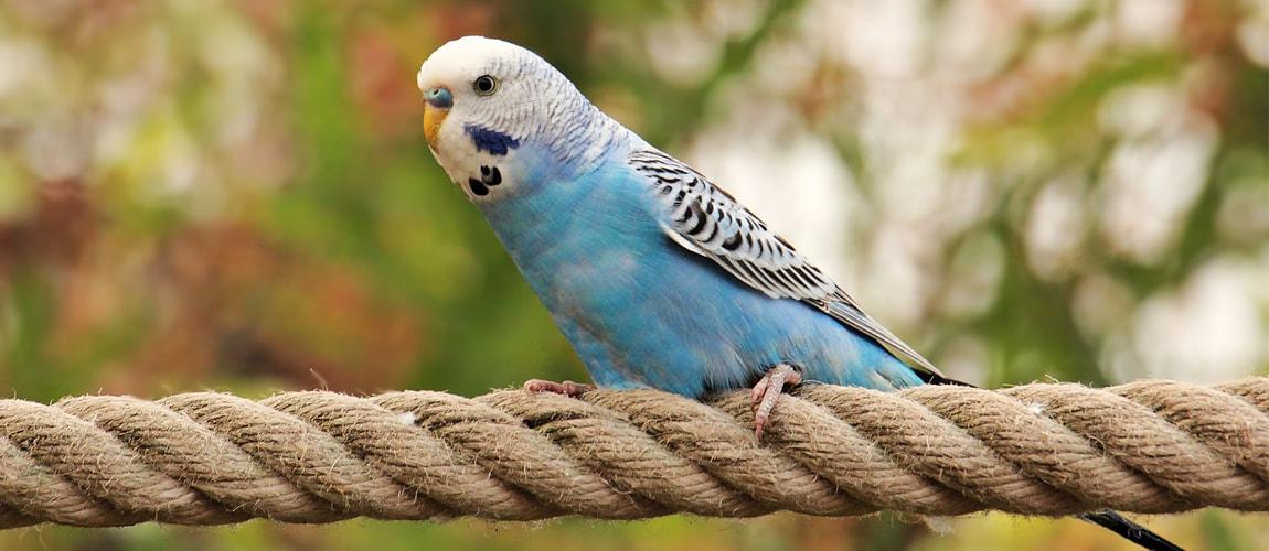 знакомство с волнистым попугаем