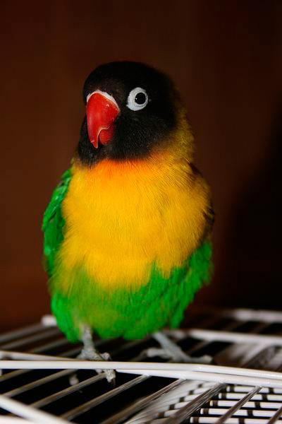 фото попугай фишер