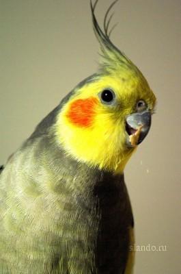 Попугаи: виды домашних попугайчиков, как выбрать и сколько 59