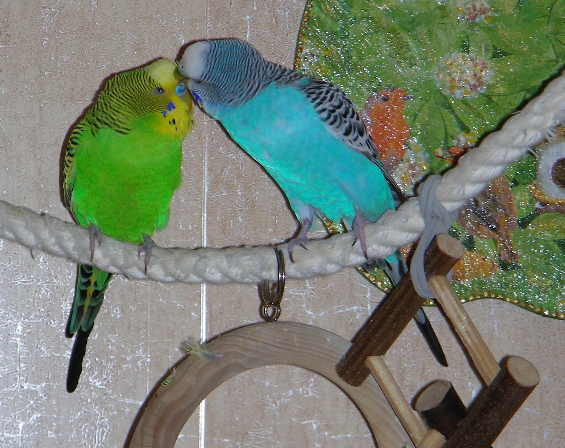 как выглядит самец волнистого попугая фото