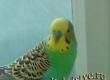 Парочка волнистых попугаев