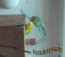 Кормление самки волнистого попугая в гнездовом домике