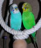 Волнистые попугаи слева самец, справа самка