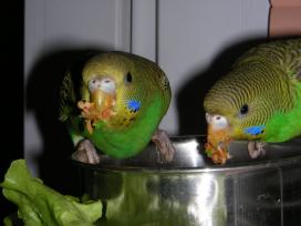 Попугаи за поеданием мягкого корма
