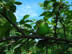 Птенец волнистого попугая природного окраса