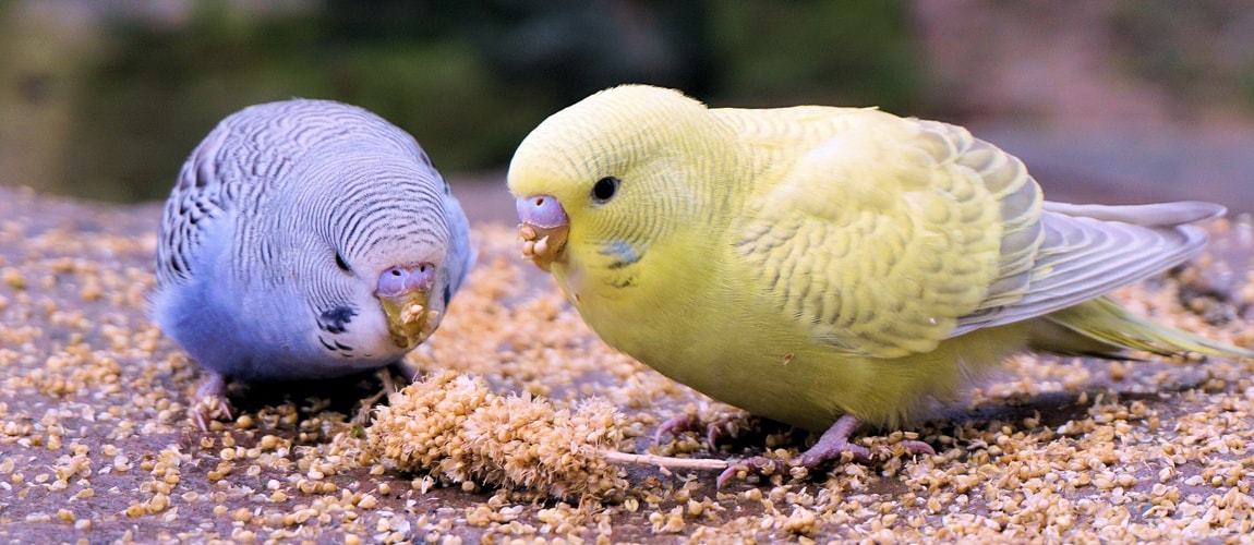 Breeding budgerigars